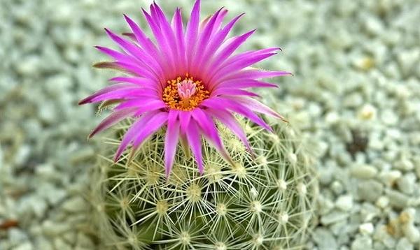 Kết quả hình ảnh cho hoa xương rồng sa lạc